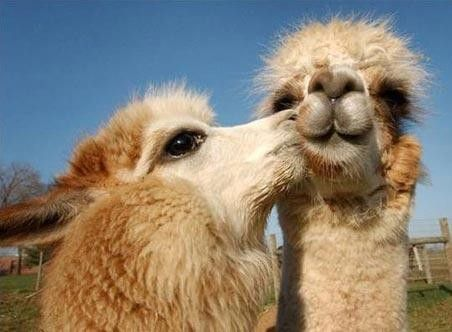 image drole lama
